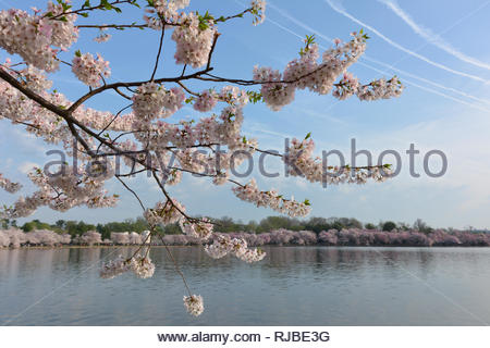 View of cherry blossoms at the Tidal Basin in Washington, DC - Stock Photo