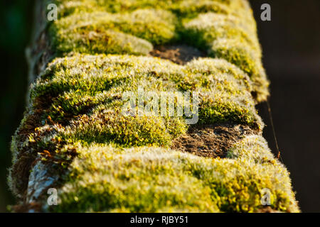 A  carpet of moss grows on a wall during  springtime  ,beautiful close up of the yellow-red inflorescence - Stock Photo