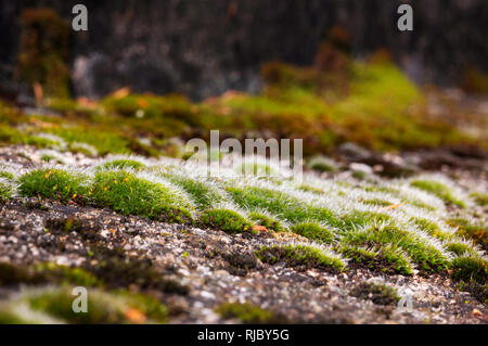 A  carpet of moss grows on rocks  during  springtime  ,beautiful close up of the yellow-green inflorescence - Stock Photo