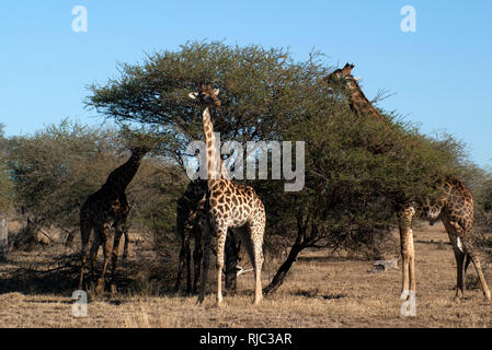 Giraffes standing by a tree eating, Kruger National Park, South Africa - Stock Photo