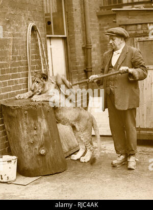 Mary Pickford the young lion cub (!) has her morning wash and brush-down from her keeper - London Zoological Gardens, Regents Park, London. - Stock Photo