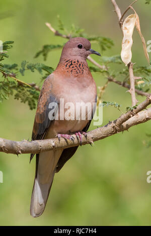 Laughing Dove (Streptopelia senegalensis), adult perched on a branch, Ayn Razat, Dhofar, Oman - Stock Photo