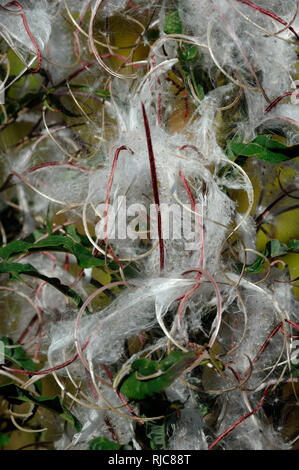 Fluffy White Seed Pods or Seeds of the Wild Herbaceous Plant Rosebay Willowherb, Chamaenerion angustifolium - Stock Photo
