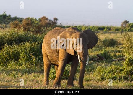 Huge elephant. Savanna. Amboseli national park. Kenya, Kilimanjaro mountain. - Stock Photo