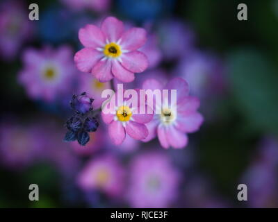 Pink Forget me Not flowers with buds. Dainty Myosotis cluster with yellow centre. - Stock Photo