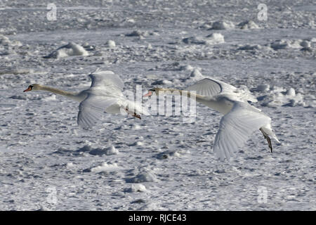 Mute Swans in flight Barcovan Beach Brighton Ontario - Stock Photo