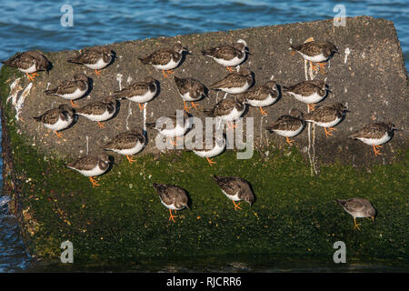 flock of ruddy turnstone Arenaria interpres resting on large stone in the water on the Dutch coast near Hoek van Holland - Stock Photo