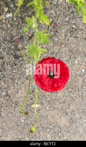 Delicate papery bright red Poppy Flower.  An overhead shot, close up of a single red poppy, showing its centre with Stamens and Seed Pod. - Stock Photo