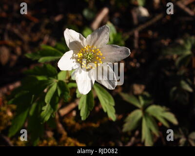 Wood Anemone on a Nature reserve in Spring woodland in Aldbury, Tring. Seen in the Chilterns along the Ridgeway walk. - Stock Photo