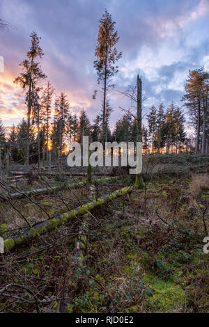 Wind felled conifer trees near Monmouth, South Wales. - Stock Photo