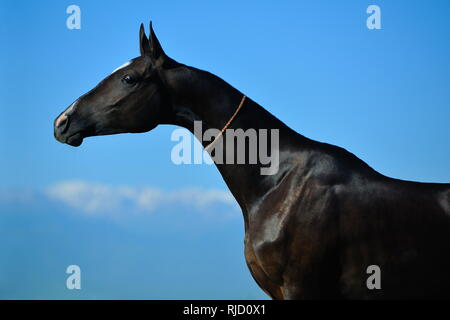 Black Akhal-Teke mare stretching her long neck and posing for the camera. Horizontal, side view, portrait. - Stock Photo