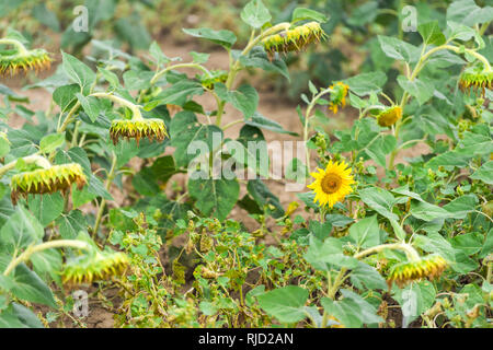 Many large sunflower head flower ripe for harvesting in agriculture farm field in cloudy morning wilted looking down - Stock Photo