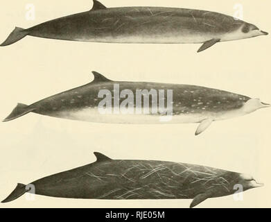 . Cetaceans of the Channel Islands National Marine Sanctuary. Cetacea; Mammals. . Please note that these images are extracted from scanned page images that may have been digitally enhanced for readability - coloration and appearance of these illustrations may not perfectly resemble the original work.. Leatherwood, Stephen; Stewart, Brent S; Folkens, Pieter A; Channel Islands National Marine Sanctuary (Calif. ); United States. National Marine Fisheries Service. [Santa Barbara, Calif. ] : National Marine Sanctuary Program - Stock Photo