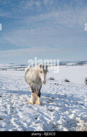 Silvery grey white horse in the snow on Hackpen hill. Wiltshire, England - Stock Photo