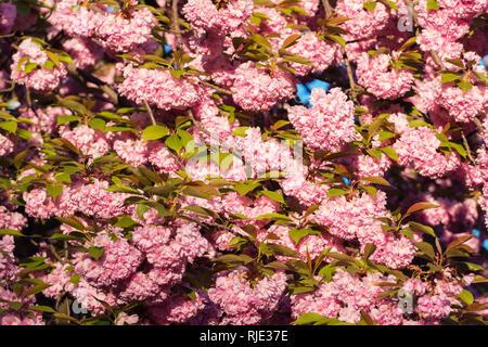 Pink sakura flowers on spring cherrys twigs. Springtime nature background - Stock Photo