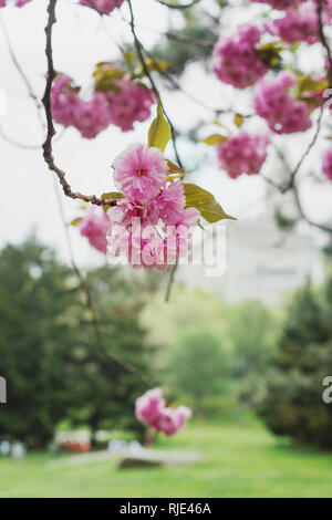 cherry blossoms in Central Park, USA - Stock Photo