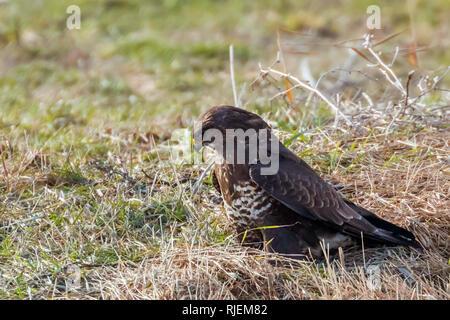 Common Buzzard standing on the ground (Buteo Buteo) - Stock Photo