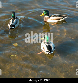 Wild Ducks, male mallards are swimming on a river with green water and looking for food. Square image - Stock Photo
