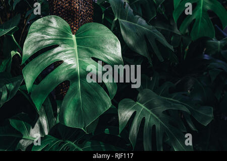 Monstera deliciosa or Mexican breadfruit or Swiss cheese plant decorated in tropical garden. Tropical Green leaves nature background. - Stock Photo