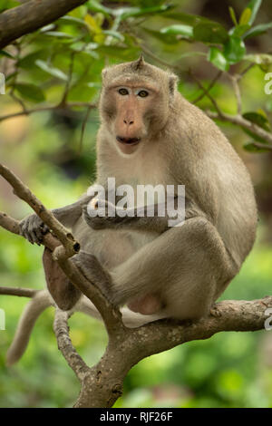 Long-tailed macaque eats in tree facing camera - Stock Photo