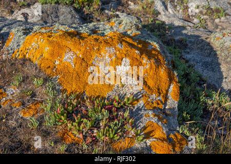 Lichen growing on rocks near Roselle Point on Alderney, channel islands. - Stock Photo