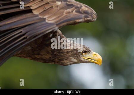 Sea Eagle in the sky - Stock Photo