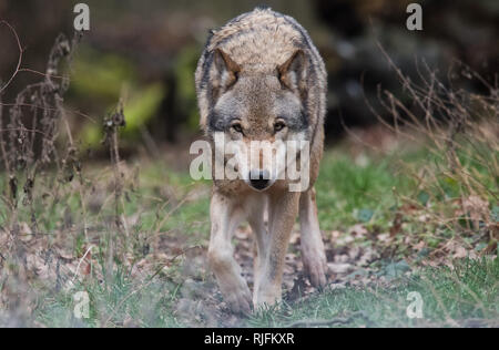 Springe, Germany. 05th Feb, 2019. A European wolf (Canis lupus lupus) roams through an enclosure in the bison enclosure. European wolves also live in the wild in Lower Saxony. There should be about 20 wolf packs with 200 to 250 animals. Credit: Julian Stratenschulte/dpa/Alamy Live News - Stock Photo