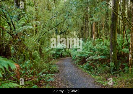 Hiking way through the forest, Great Otway National Park, Australia - Stock Photo