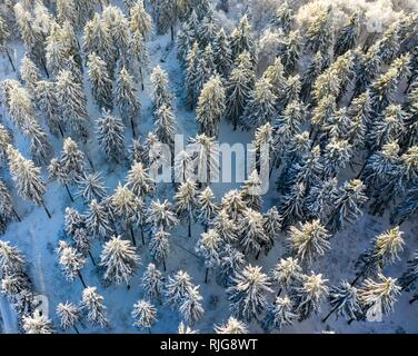 Drones shot, snow-covered Spruces (Picea) from above in winter, Taunus, Hesse, Germany - Stock Photo