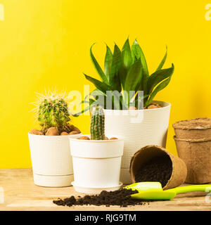 Home plant cacti in pots on a bright yellow background. Transplanting plants. The concept of spring. - Stock Photo