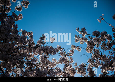 Beautiful cherry blossom sakura tree in bloom view from below with clear blue sky in the background - Stock Photo