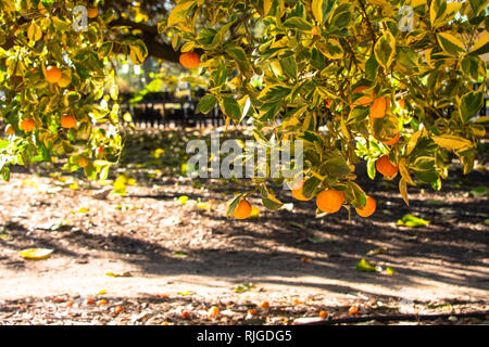 Calamondin oranges growing on tree branches close to the ground on a sunny day - Stock Photo