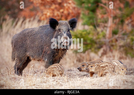 Wild boar family in nature with sow and small stripped piglets. - Stock Photo