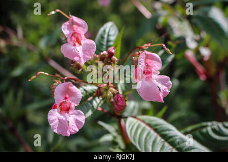 Impatiens glandulifera - Himalayan Balsam in flower in Serbia (Kosovo)