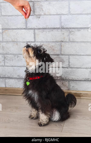 Miniature mini schnauzer puppy looking treat in the hand of the owner - Stock Photo