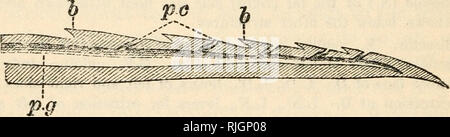 """. Bees and wasps. Bees; Wasps. Fig. 19. Diagrammatic cross-section of a wasp's sting in the region of the letter D., in Fig. 18 by a tube with the poison-bag. These three pieces are the """"director,"""" and two three-sided """"needles,"""" whose opposed sides are concave, and which bear six. Fig. 20. Optical section of tip of a needle from the sting of Vespa germanica ? . Highly magnified &., barbs, p.c.j poison canals perforating bases of barbs, p.g., poison channel running along inner face of needle, cf. Fig. 19. Actual length of the part figured 0'37 mm., breadth at widest part - Stock Photo"""