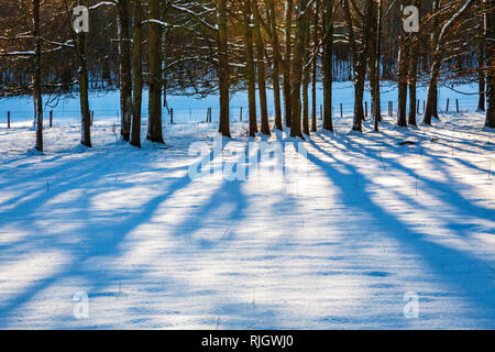 A clump of bare winter trees on snow-covered fields in Wiltshire. - Stock Photo