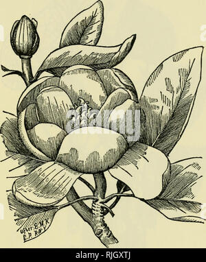. The bee-keeper's guide : or, Manual of the apiary. Bees. OR, MANUAL OF THE APIARY. 433 The tree, too, from its great, spreading top and fine foliage, is magnificent for shade. Five of these trees were within two rods of my study window, and their grateful fragrance and Fig. 237. Magnolia.—Origina I. beautiful form and shade were often the subject of remark by visitors. This tree is par excellence for roadside planting. It bears transplanting admirably, and is very little disturbed by. Please note that these images are extracted from scanned page images that may have been digitally enhanced f - Stock Photo