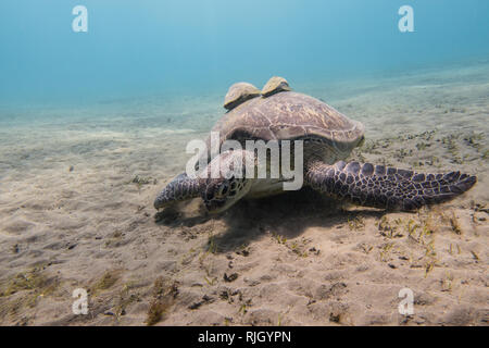 Sea turtle with two remora fishes on its shell grazing sea grass on the sandy seabed of a bay in Abu Dabbab in the Red Sea in Egypt - Stock Photo