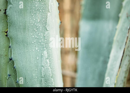 Close up agave plant leaf with dew droplets on it - Stock Photo