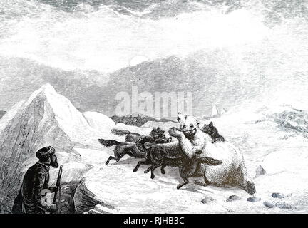 An engraving depicting a polar bear under attack by a pack of Canadian Eskimo Dogs. Dated 19th century - Stock Photo