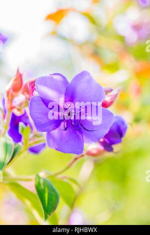 tibouchina urvilleana flower - Stock Photo
