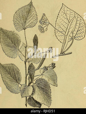 . The bee-keepers' guide; or, Manual of the apiary. Bees. July Plant* 279 its incomparable nectar. The tree, too, from its great spread- ing top and fine foliage, is magnificent for shade. Five of these Fig. 151.. Bassivood. trees are within two rods of my study window, and their grate- ful fragrance and beautiful form and shade have often been the subject of remark by visitors.. Please note that these images are extracted from scanned page images that may have been digitally enhanced for readability - coloration and appearance of these illustrations may not perfectly resemble the original wor - Stock Photo