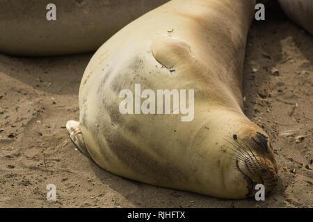 elephant seal at a beach in california - Stock Photo