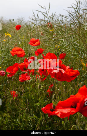 Common red poppies Papaver rhoeas  at eye level in a field together with other wild plants. - Stock Photo