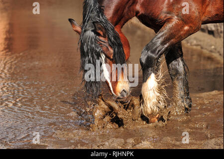 Bay draft horse with black mane splashes muddy water standing in a puddle. Horizontal, sideview, portrait. - Stock Photo