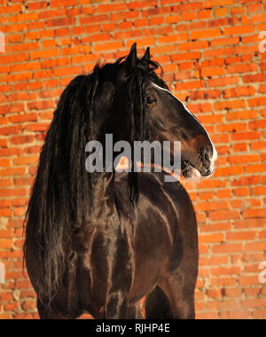 Black Vladimir heavy draft stallion looks to the right while standing at the red brick wall in winter. Horizontal, portrait, side view. - Stock Photo