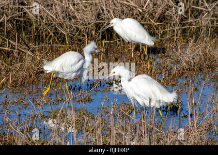 White egrets fishing on a pond in one of the marshes of south San Francisco bay area, California - Stock Photo