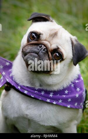 Lots of love for pugs as dozens of owners and their pugs join the Pug Walk in aid of the MuffinPug Rescue charity, held on the Colesbourne Estate, Glo - Stock Photo
