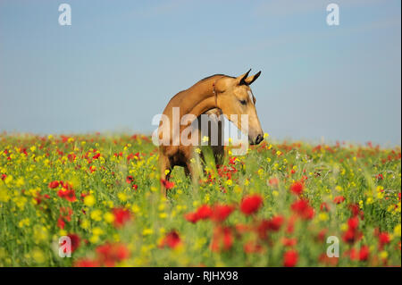 Golden akhal-teke horse with alaja decoration standing on a field full of red and yellow flowers - Stock Photo